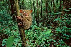 A tarsier in Sabah, Borneo