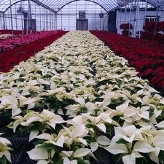 White Poinsettias from Cros-B-Crest Farm, Staunton, VA