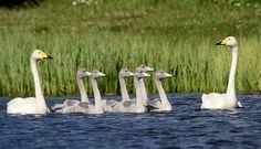 Finnish national bird -  whooper swan