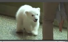 Here's to a super-cuddly start to the long-awaited weekend. On Friday, an adorable polar bear cub made her public debut at the Buffalo Zoo, tickli. Cute Tiger Cubs, Cute Tigers, Cute Polar Bear, Bear Cubs, Cute Baby Animals, Buffalo, Cute Babies, Public, Videos