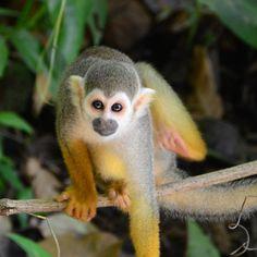 Sublime petit #saimiri de #Guyane. #rencontre inattendue mais mémorable. #monkey #singe #jungle @igs_world @beautifulanimalshot @beautifuldestinations @beautiful.earthpix @animals.in.world #twitter