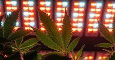 Where Marijuana Plants Flourish Under Energy-Saving LED Lights #Business_ #iNewsPhoto