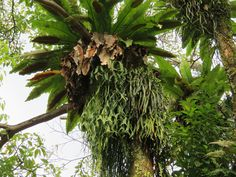 Asplenium nidus with Ophioglossum pendulum, Platycerium coronarium and Pyrrosia longifolia beneath