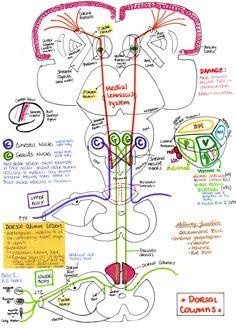Dorsal column (medial leminiscus pathway)