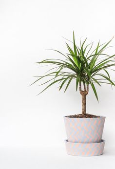 If you're looking for a hint of the tropical but don't have the light to sustain a small palm, the Madagasc...