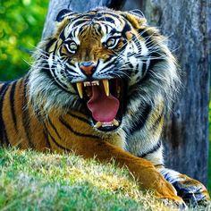 Big Cats, Cool Cats, Beautiful Cats, Animals Beautiful, Animals And Pets, Cute Animals, Wild Animals, Baby Animals, Tiger Attack