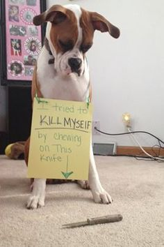 Emily caught her old boxer Kinsey CHEWING ON A KNIFE. Unless you own a boxer. Boxer And Baby, Boxer Love, Dog Love, Puppy Love, Funny Animal Pictures, Cute Funny Animals, Funny Dogs, Dog Shaming Photos, Boxer Puppies