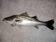 GRANDEBORSA / lure fishing SPICE16 カラーはキマグレホワイト Sea bass / スズキ  #fishing #lure #handmade #ルアー #photography #picture #lureFishing #SeaBass #スズキ #SPICE16 #キマグレホワイト