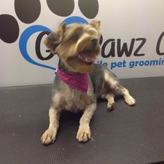 Just relaxin after his hair cut  #gopawzgo #mobilegrooming #animals #loveourjob #dogs #yorkie