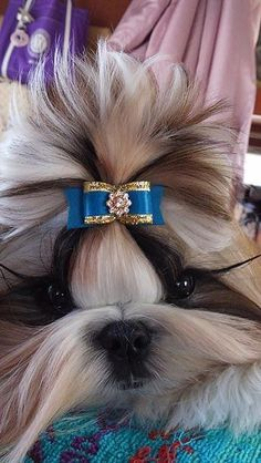 gorgeous Shih Tzu