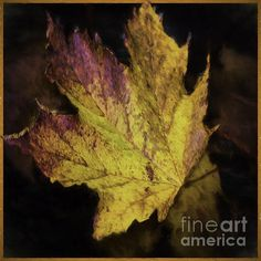 Maple leaves float gracefully to the ground.