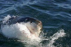 Seven National Wildlife Photo Contest Shark Pictures Shark Pictures, Underwater Animals, Adventure Activities, Great White Shark, Shark Week, Photo Contest, Amazing Nature, South Africa, Nature Photography