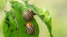Így üldözd el a kártevőket. Ezzel a módszerrel annyi a hangyáknak, a tetveknek, sőt a krumplibogarat is elpusztítja - Blikk Rúzs