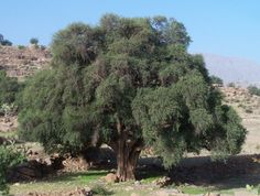 """The name argan oil with which the plant is known, matches the local name, in the Berber language (tashelhit) and means oil.The Argan tree can live 200 or 250 years and can grow up to 8 or 10 meters high. As residual cultural element, related to the ancient Berber civilization, the great importance of argan trees have symbols of life, and the one considered to be the oldest is in Tamanar, called """"Targante Nchick"""", or wise, there is a popular celebration every year with lunches, traditional…"""
