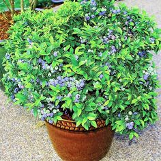 Shop Fruit & Berry plants to grow in your home garden. Find blueberry, strawberry, raspberry and blackberry & many more fruit plants for sale at Burpee. Fruit Bushes, Fruit Plants, Fruit Garden, Edible Garden, Fruit Trees, Berry Plants, Flowers Garden, Tropical Plants, Diy Garden