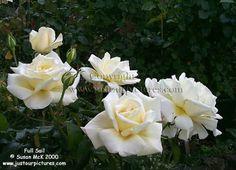 full sail rose, strong honeysuckle fragrance