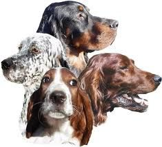 The four setters: Irish Red and White Setter, English Setter, Gordon Setter and the Irish Setter