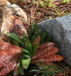Bicolor Gasteria photo by The Succulent Perch www.thesucculentperch.com