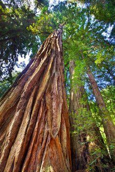 Mighty Coastal Redwoods - Muir Woods, CA