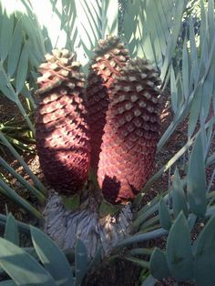 E.eugene-maraisii male Noblesse, Pine Cones, South Africa, Seeds, Gardening, Flowers, Plants, Nature, Garden
