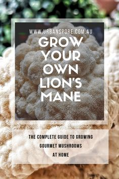 Grow Your Own Lion's Mane Complete Guide Complete Guide To Grow Gourmet Mushrooms At Home Grow Your Own Mushrooms, Growing Mushrooms At Home, Mushroom Spores, Mushroom Cultivation, Mushroom Benefits, Using A Pressure Cooker, Mushroom Hunting, Lion Mane, Smoking Recipes