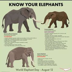 World Elephant Day! Learn something new today about the magnificent creatures Small Elephant, Asian Elephant, Elephant Love, Elephant Stuff, Elephant Meaning, Wild Life, Beautiful Creatures, Animals Beautiful, Elephant Species