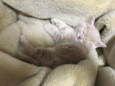 もみちゃん、今日も1日楽しかったね😍 毎日たくさん癒しをありがとう💓愛しすぎるー!! . (うちの子、足短いのかなー??笑) . . #ねこ #ネコ部 #ねこら部 #ネコ写真 #猫 #愛猫 #にゃんすたぐらむ #にゃんだふるらいふ  #ねこのいる生活 #ねこのいる暮らし #スコティッシュフォールド #スコ部 #たち耳 #たちみみスコ #ねこ好きさんと繋がりたい  #寝顔 #いやしねこ #愛しいわが子 #短足? #もみじ #もみちゃん #1日の終わり #おやすみなさい  #scottishfold #cat #cutecats #lovecat #catstagram