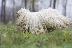Puli-Compact, vigorous and alert, the Puli is a tough-as-nails herding dog, able to perform its duties across any terrain.As the ancient sheepdog of Hungary, the Puli has been herding flocks for Hungarian Shepherds for more than 1,000 years.