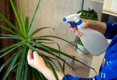 Common Pests Of Dracaena Plants: How To Manage Dracaena Pest Problems