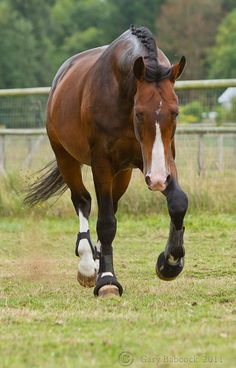 Dutch Warmblood stallion Versache Look at those l Horses And Dogs, Cute Horses, Pretty Horses, Horse Love, Wild Horses, Beautiful Horses, Dutch Warmblood, Warmblood Horses, Kwpn Horse