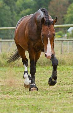 Dutch Warmblood stallion Versache. Look at those legs! Somedayyyy