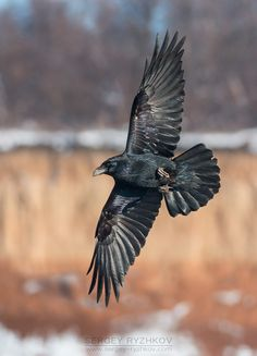 Raven in flight. Ukaine. Dec, 2014