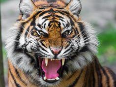 Ferocious Tiger 1280x960