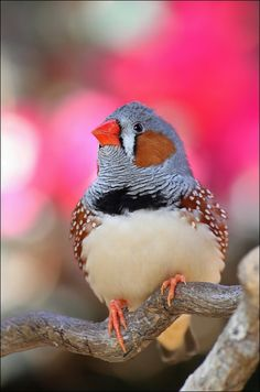 Zebra finch.  I used to raise these sweet little birds.  Great to have in a large cage in small numbers.  Very cheery.