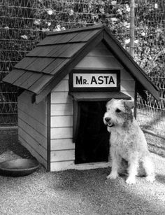 Asta from the Thin Man series--decaying hollywood mansion's Fox Terriers, Chien Fox Terrier, Wirehaired Fox Terrier, Wire Fox Terrier, Thin Man Movies, Old Movies, Vintage Movies, Classic Hollywood, Old Hollywood