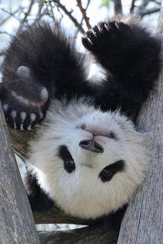 earth-song: Panda Upside Down by Josef Gelernter by irma Panda Bebe, Cute Panda, Cute Baby Animals, Animals And Pets, Baby Pandas, Wild Animals, Giant Pandas, Beautiful Creatures, Animals Beautiful