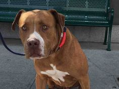Brooklyn Center BISHOP – A1081071 MALE, TAN / WHITE, AM PIT BULL TER MIX, 4 yrs STRAY – EVALUATE, HOLD RELEASED Reason OWNER SICK Intake condition EXAM REQ Intake Date 07/13/2016, From NY 11208, DueOut Date 07/16/2016, I came in with Group/Litter #K16-065377.