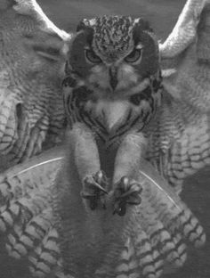 gif animals Black and White nature mygif owl animal gif bird gif owl gif absinthius eagle owl Beautiful Owl, Animals Beautiful, Cute Animals, Owl Bird, Pet Birds, Owl Photos, Tier Fotos, Birds Of Prey, Maroon 5