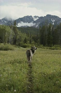 Jim and jamie dutcher sawtooth mountain Wall Decals A Gray Wolf - 18 inches x 12 inches - Peel and Stick Removable Graphic Wallmonkeys Wall Decals http://smile.amazon.com/dp/B00E8Q2VN6/ref=cm_sw_r_pi_dp_JB59tb1T18WSH