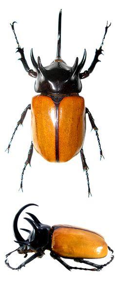 Eupatorus gracilicornis, masculino
