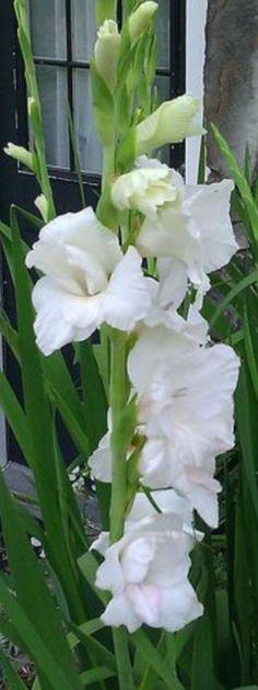 Designs For Garden Flower Beds Gladiolus White Flower All Flowers, Exotic Flowers, Amazing Flowers, Fresh Flowers, White Flowers, Beautiful Flowers, Wedding Flowers, Moon Garden, Dream Garden