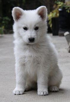 berger blanc suisse puppy via Cute Puppies, Cute Dogs, Dogs And Puppies, Doggies, Animals And Pets, Baby Animals, Cute Animals, Beautiful Dogs, Animals Beautiful