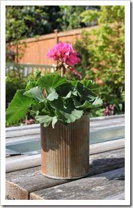 geranium in tin can