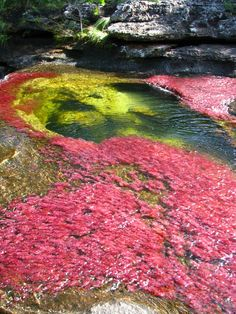 Caño Cristales, the River of Five Colours, Macarena Mountains, Colombia
