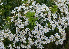 Oranger du Mexique CHOISYA Ternata arbuste decoratif à fleurs blanches