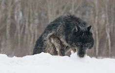.Black wolf on the hunt in the snow!