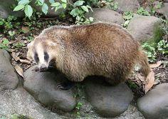 Japanese Badger(Meles meles anakuma)ニホンアナグマ