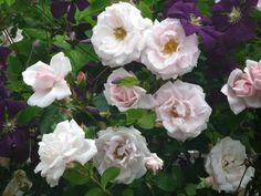 New Dawn rose rambler