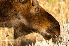 Moose sticking his big nose in Big Noses, Moose, Wildlife, Animals, Elk, Animales, Animaux, Animal, Animais