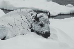 Bison in blizzard... so sad.